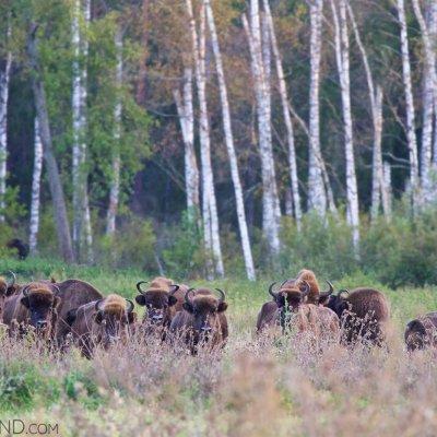 Wild European Bison Herd In The Białowieża Forest