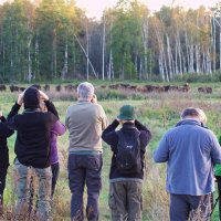 Watching Wild European Bison In The Białowieża Forest