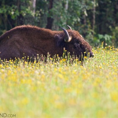 European Bison On A Flowery Meadow In The Białowieża Forest