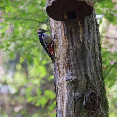 Great Spotted Woodpecker In The Białowieża Forest