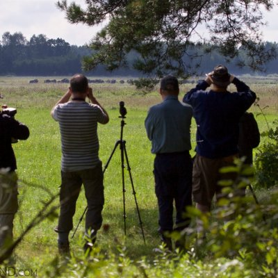 Watching A Wild Herd Of European Bison In The Białowieża Forest