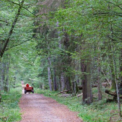 Horse And Cart In The Białowieża Forest