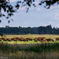 Wild Herd Of Bison In The Białowieża Forest