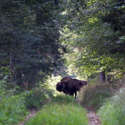 A Pair Of Wild European Bison In The Białowieża Forest