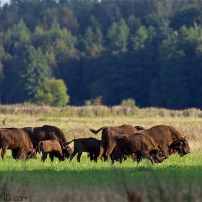 Wild Herd Of European Bison With Young Calves In The Białowieża Forest