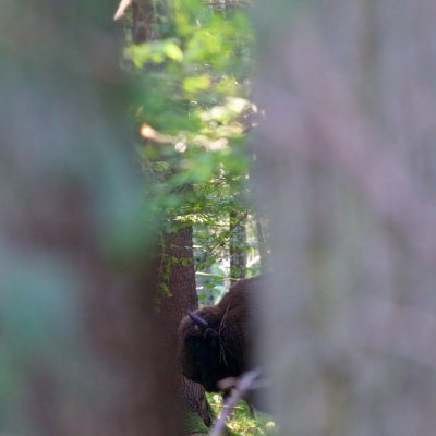 Wild European Bison In The Białowieża Forest