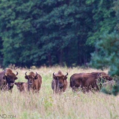 Wild Herd Of European Bison In The Białowieża Forest