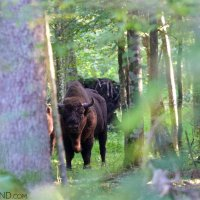 Wild European Bison in the Białowieża Forest