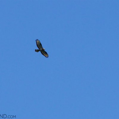Honey Buzzard In The Biebrza National Park