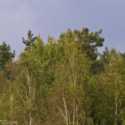 A Pait Of White-tailed Eagles In The Siemianówka Reservoir