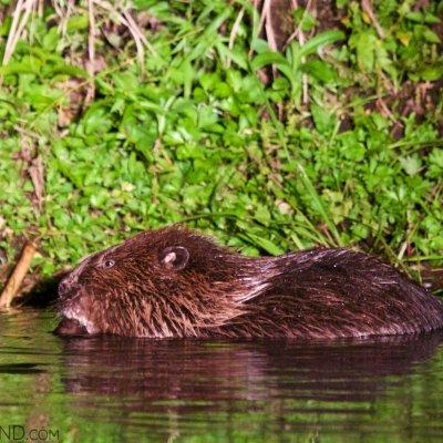 Wild European Beaver Seen On A Boat Cruise