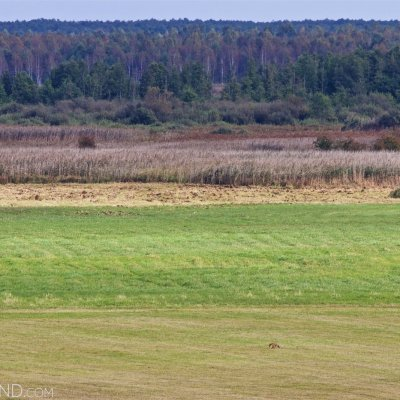 A Fox In The Biebrza Marshes