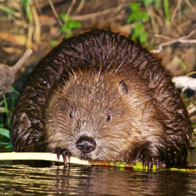 European Beaver Seen On Our Boat Trip On The Narew River