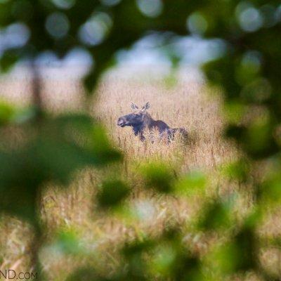 52-elk-moose-biebrza-national-park-marshes-wildpoland-lukasz-mazurek