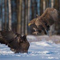 White-tailed Eagles In The Białowieża Forest By Marek Kosiński