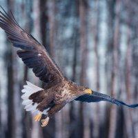 White-tailed Eagle By Marek Kosiński