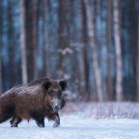 Wild Boar In The Białowieża Forest By Marek Kosiński