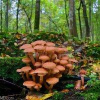 Honey Mushroom In The Białowieża Forest