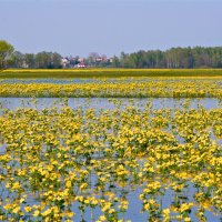 Marsh Marigolds In The Biebrza Marshes