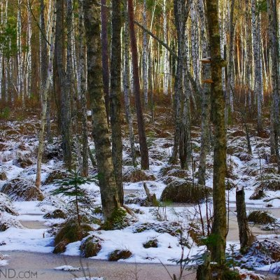 Białowieża Forest At The End Of Winter