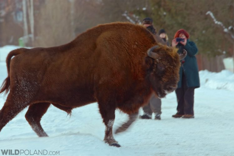 Photographing European Bison In The Białowieża Forest