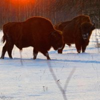 European Bison In The Białowieża Forest At Dusk