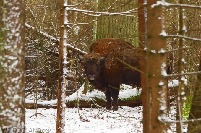 Winter Bison Safari And Wolf Tracking 24-27 Feb 2017
