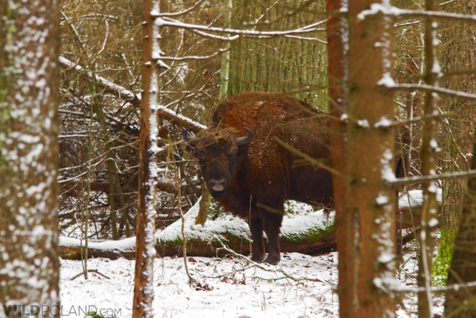 Winter Bison Safari And Wolf Tracking, Feb 2017