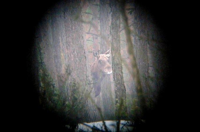 Winter Biebrza Elk Safari 17-20 Feb 2017