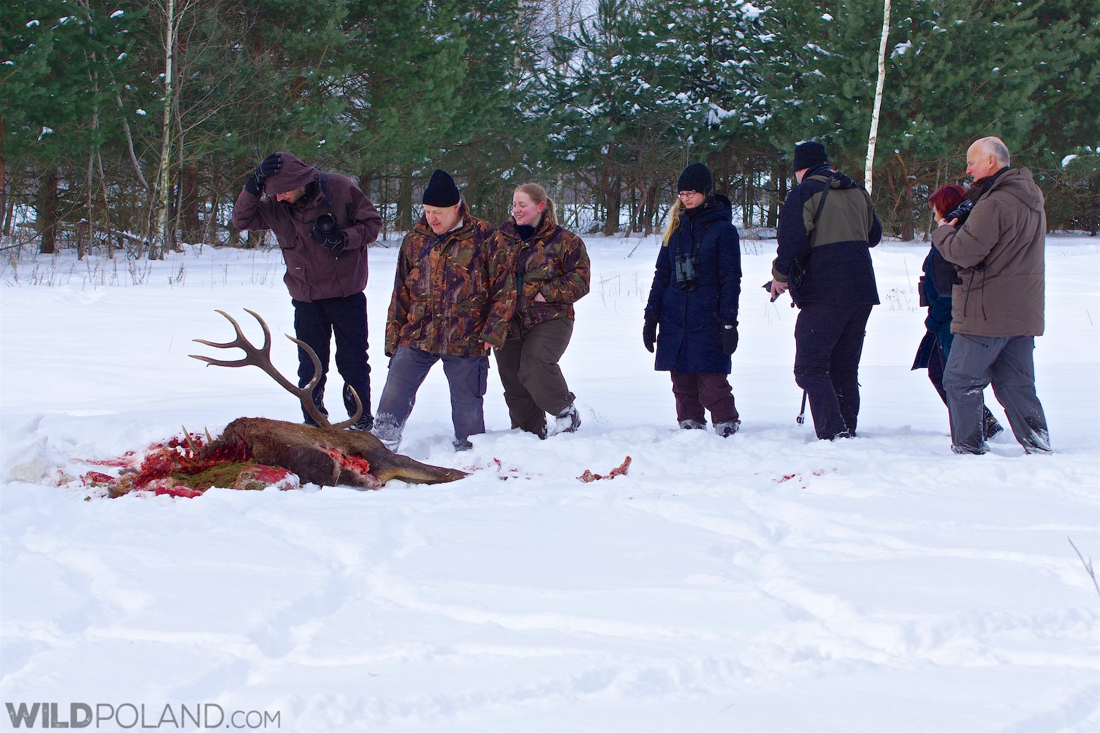 Our group at the recent wolf kill - a Red Deer stag, Białowieża Forest