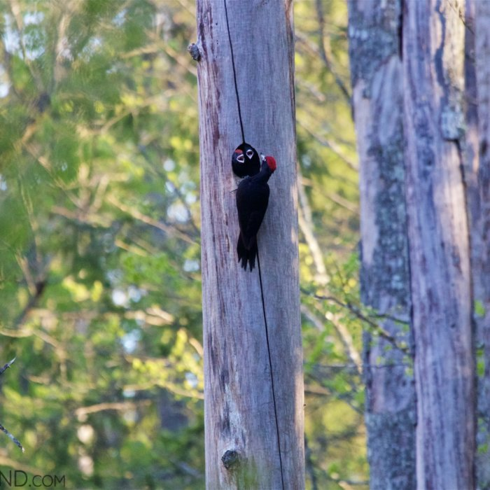 Black Woodpecker In The Bialowieza Forest.