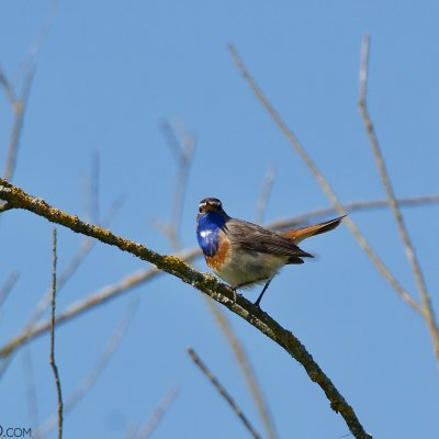 Bluethroat In The Biebrza Marshes