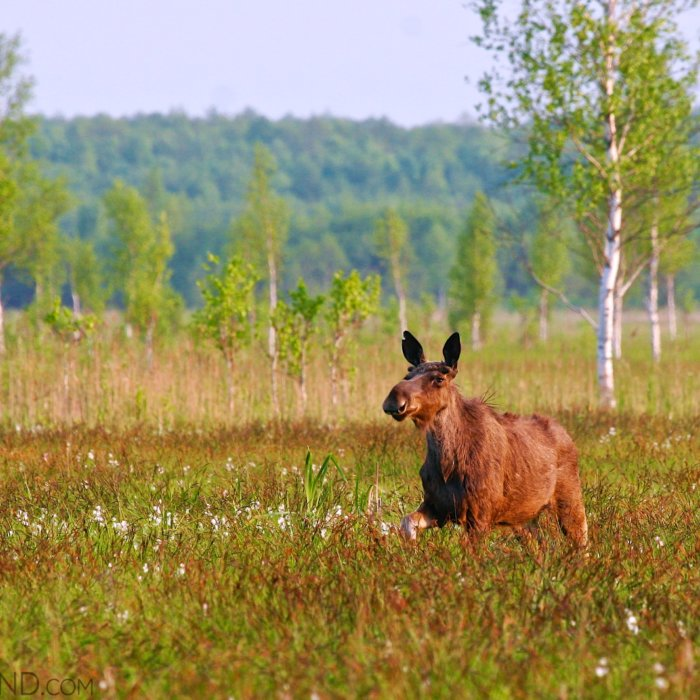 Elk (Moose) In The Biebrza Marshes By Łukasz Mazurek