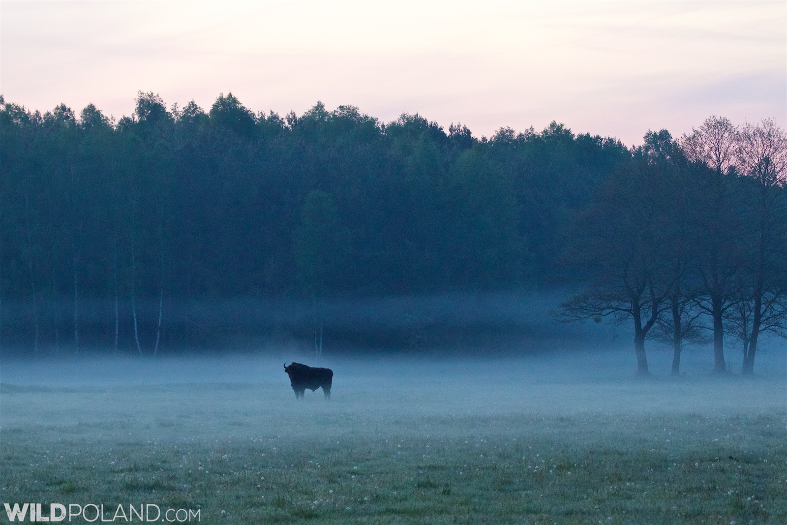 Bison at dawn in the Białowieża Forest