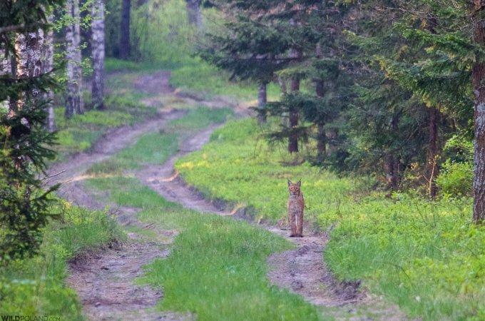 Lynx In The Białowieża Forest Seen On Our Last Dawn Patrol Of The Festival. Photo By Łukasz Mazurek