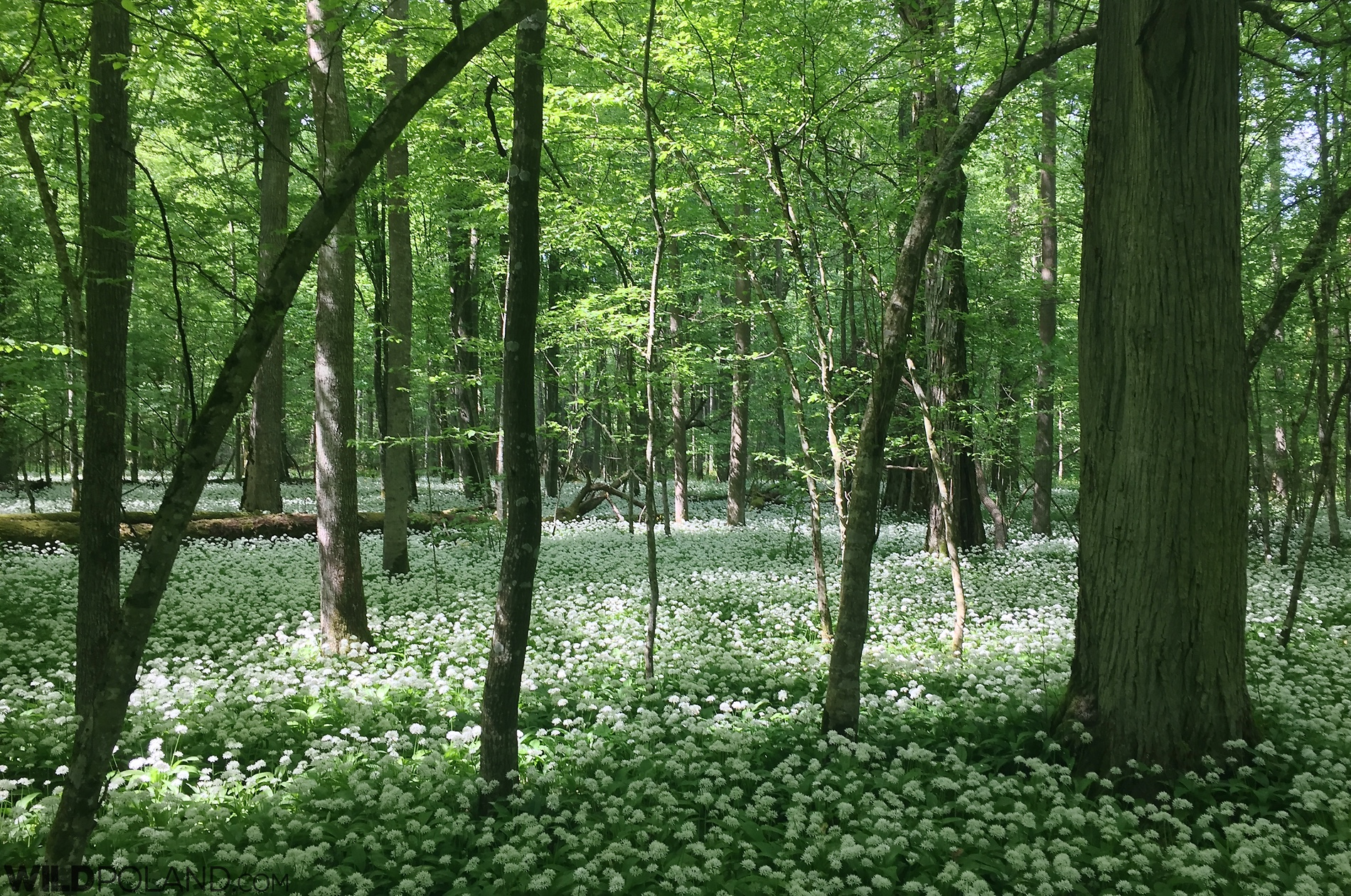 Ramson (wild garlic) growing in the Białowieża National Park