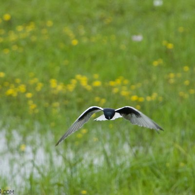 White-winged Tern In The Biebrza Marshes