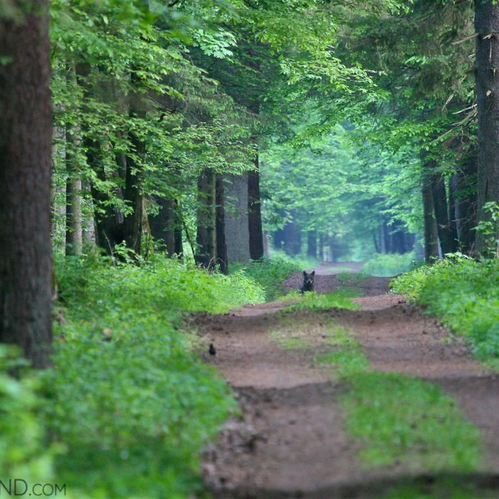 Female Wolf In The Białowieża Forest, May 2012. Photo By Łukasz Mazurek