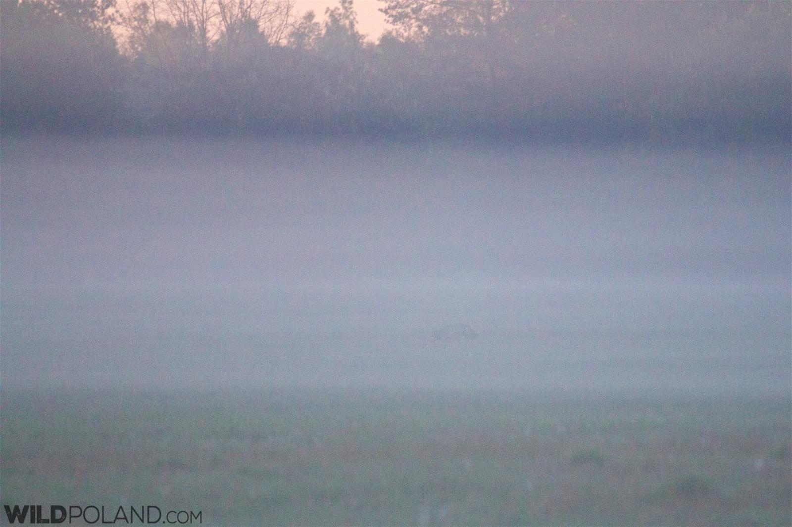 Wolf in the fog at dawn in the Białowieża Forest