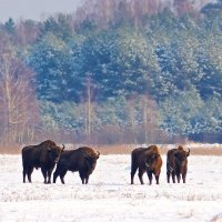 Bison in the Białowieża Forest at wintertime