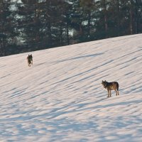 Wolves in the Beskid Niski Mts by Zenon Wojtas