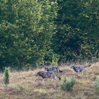 Wolves in the Beskid Niski Mts by Zenon Wojtas