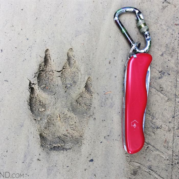 Wolf Footprint In The Bieszczady Mountains.