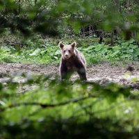 Brown Bear in the Bieszczady Mountains, Eastern Carpathians by Bartosz Pirga