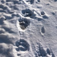 Brown Bear Footprints In The Eastern Carpathian By Zenon Wojtas