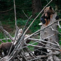 Brown bear female with young in the Bieszczady Mts by Grzegorz Leśniewski