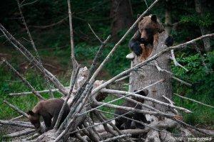 Brown bear female with young in the Bieszczady Mts by Grzegorz Leśniewski