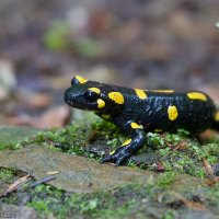Fire Salamander In The Eastern Carpathians