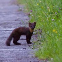 Pine Marten In The Eastern Carpathians