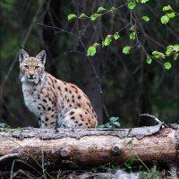 Lynx In The Bieszczady Mts, Eastern Carpathians By Grzegorz Leśniewski